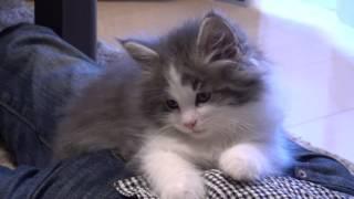 ふわふわ仔猫viviの動画です。テーブルやデスクに登り始め、いつも元気...