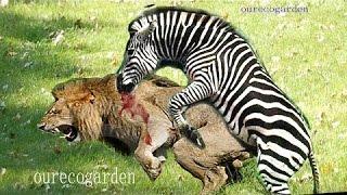 هجمات الحيوانات على الجاموس الأسد ضد الأسد ضد هجوم حمار وحشي الحيوان فريسة لرد