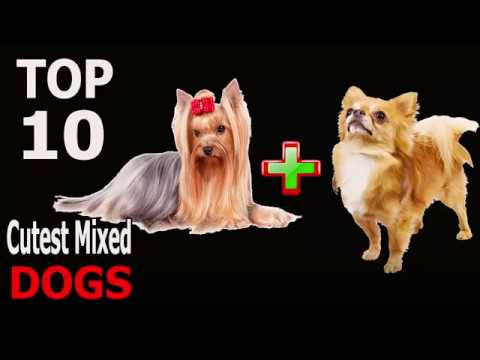 Top 10 Cutest Mixed Breed Dogs | Top 10 animals