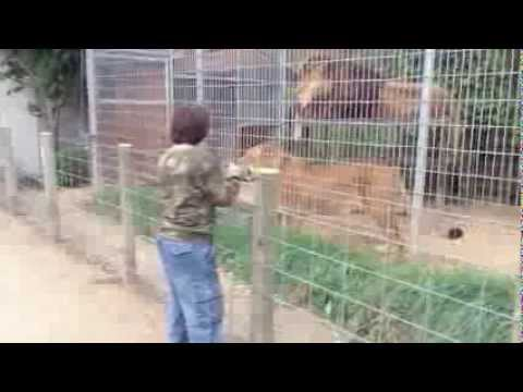 Kyle Playing With Lion At Special Memories Zoo Greenville, WIsconsin