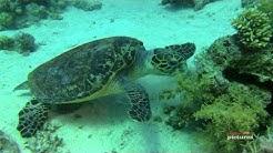 Die Karettschildkröte von Umm Gamar