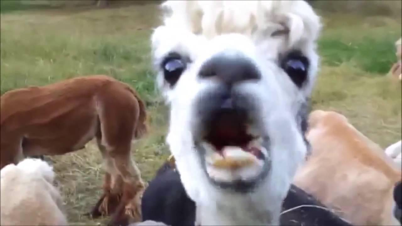 10 Funniest Alpaca Videos - YouTube