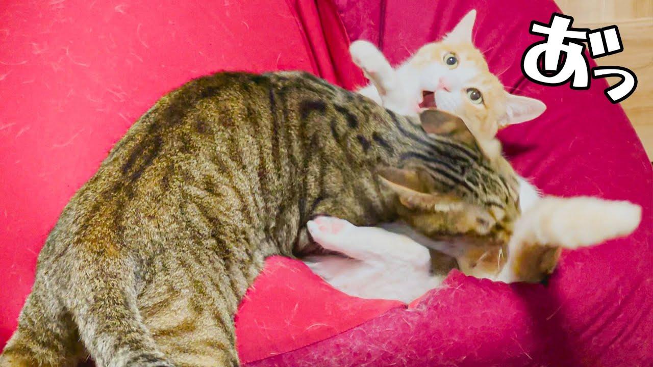 猫同士のガチ喧嘩が勃発しました…