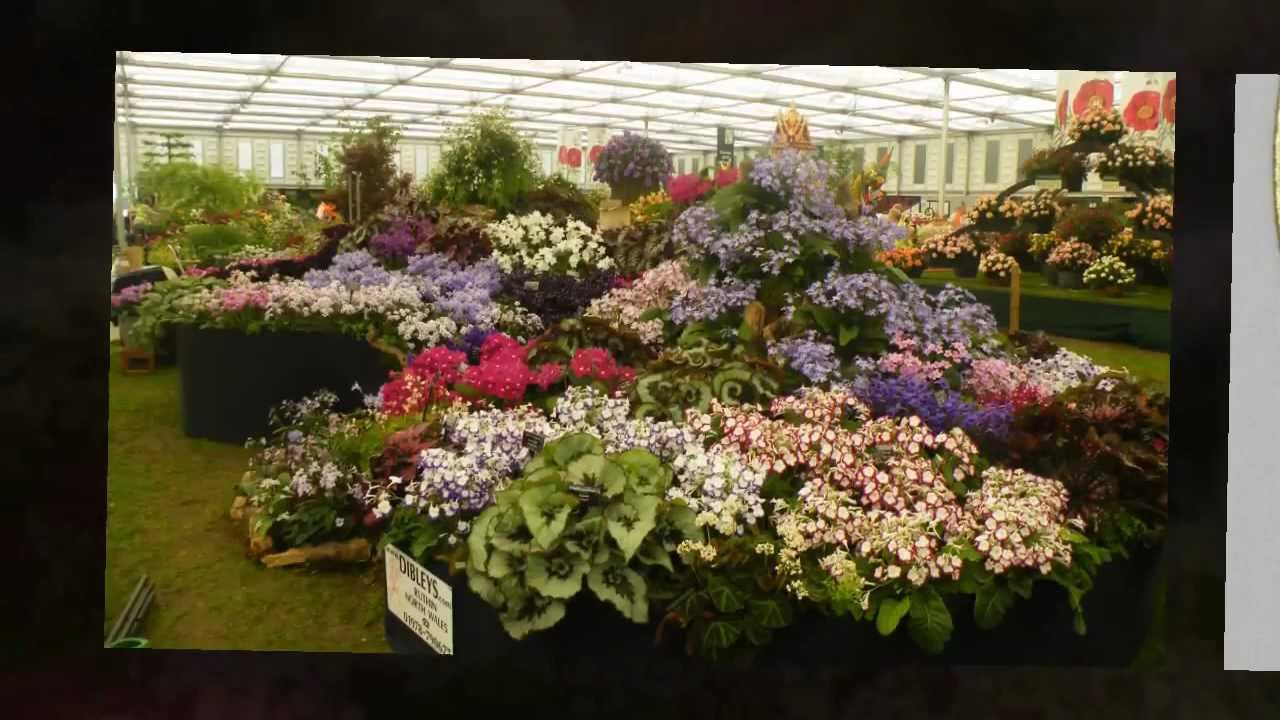 Dibleys Flowering Streptocarpus By Post Youtube