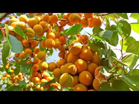 АБРИКОС - ПОЛЬЗА И ВРЕД / абрикосы чем они полезны, абрикосы натощак