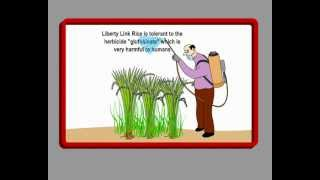 Genetically Engineered Rice - What Every Consumer Should Know