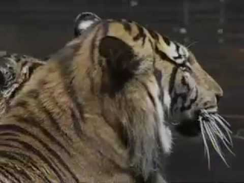 Big Cats Perform In Russian Circus
