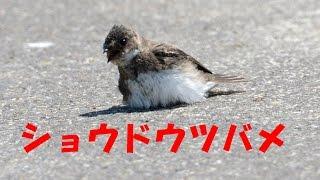 説明平成27年8月24日と27日 愛知県にてショウドウツバメの渡りの...