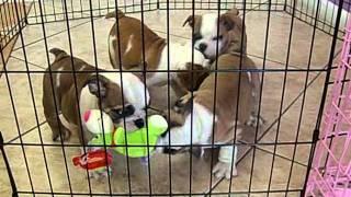 English Bulldog Puppies For Sale In Miami,broward. Tel.305-262-7310. Www.puppiestogoinc.com