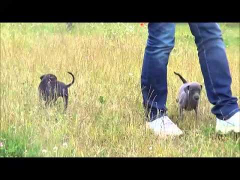 First walk together! Italian greyhound puppies.