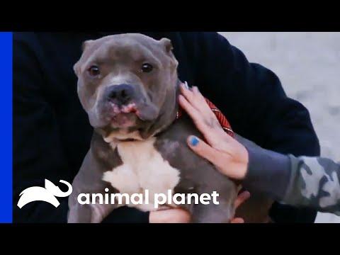 Terrified Dog Found Tied Up Outside Villalobos  | Pit Bulls & Parolees