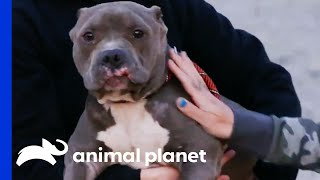 Terrified Dog Found Tied Up Outside Villalobos  | Pit Bulls & Parolees