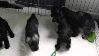 Miniature Schnauzers - Wrestlemania Puppy Style