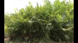 Plantaciones de palma de aceite en Benemérito de las Américas, Chiapas