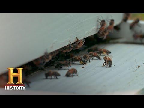 Swamp People: Frenchy's Bees (Season 10) | Bonus | History