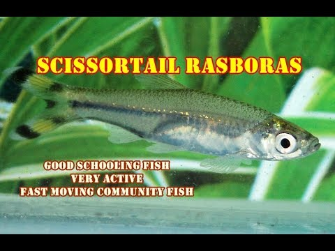 Scissor Tail Rasbora | Very Active & Fast Moving Schooling Fish | Full Review