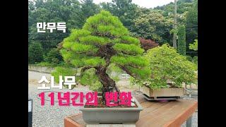 20. 소나무 분재 11년간의 변화