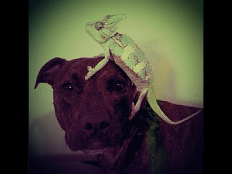 chicago-dog-training-/-hero-the-pit-bull-/-fun-with-agility-and-dock-dog-diving