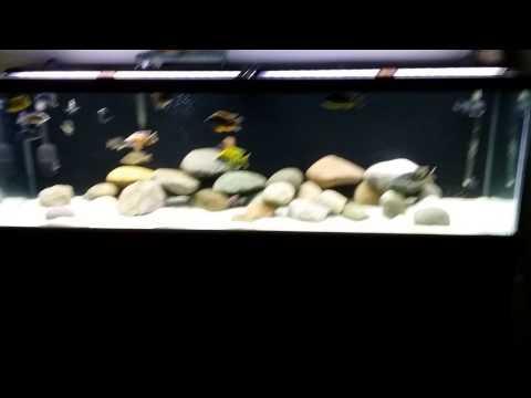 All Male Hap/Peacock Tank 4-22-14