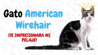 ✅ Gato american wirehair  El gato de pelo áspero (AMERICAN WIREHAIR)