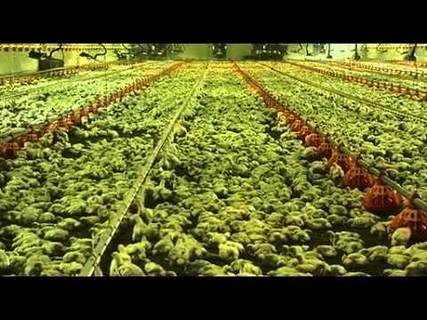 Como se cria, se engorda y se beneficia el pollo que comes