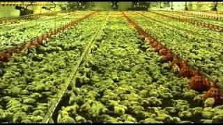 ¿Sabes de donde vienen los pollos que llegan a tu mesa? thumbnail
