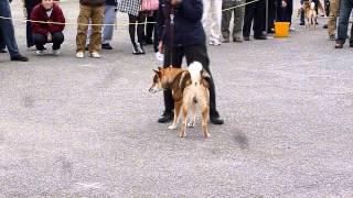 日本犬保存会・秋季関東連合展(東京展) 参考犬(四国犬) http://blog...