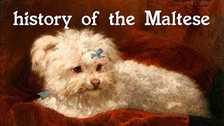 History Of The Maltese - Dog
