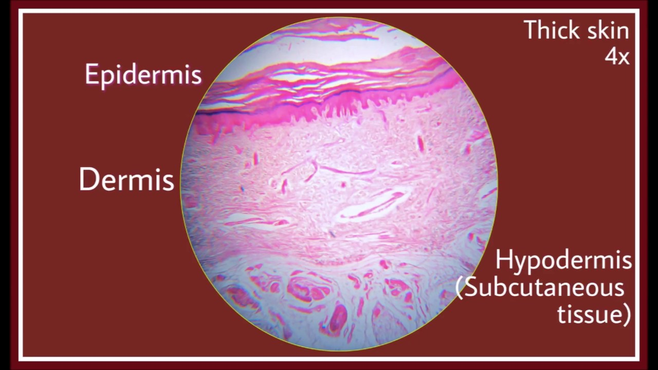 Thick skin Histology - YouTube