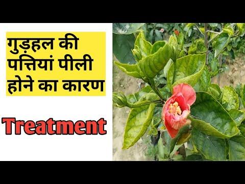 गुड़हल की पीली पत्तियों का कारण और उपचार Hibiscus Plant Care