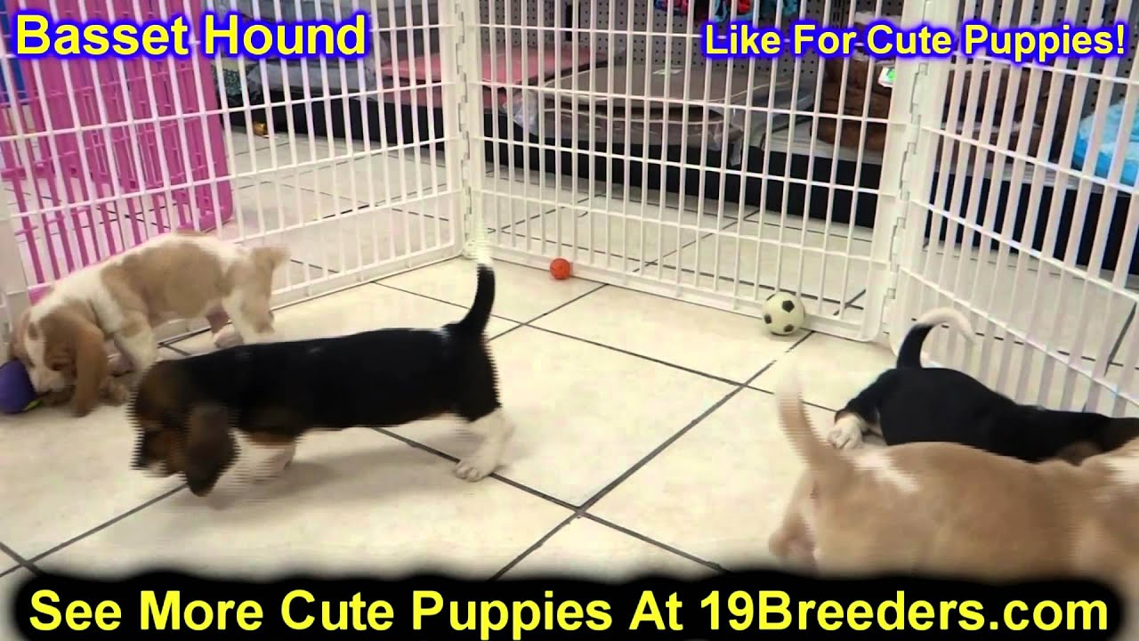 Basset Hound, Puppies, Dogs, For Sale, In Colorado Springs ...