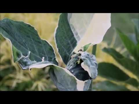 mickey mouse taro leaf, (Xanthosoma atrovirens ...