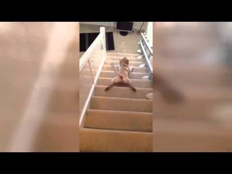 Собаки и лестница