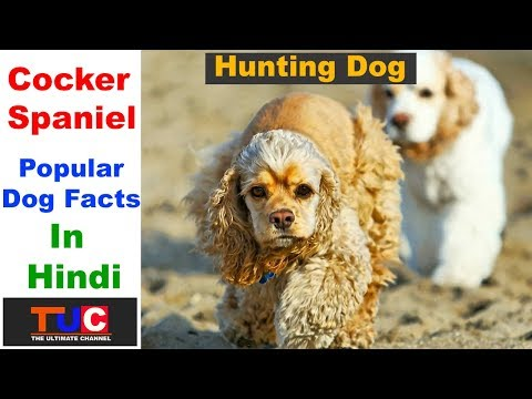 Cocker Spaniel Dog Facts In Hindi : Popular Dog Breeds : The Ultimate Channel