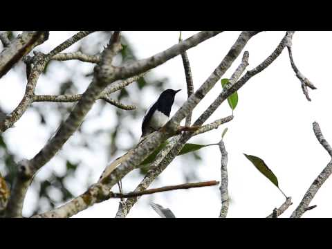 Oriental magpie-robin sing well?