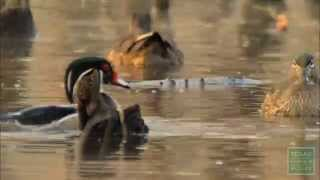 Ducks at Engeling: Winter Wonderland for Waterfowl - Texas Parks and Wildlife [Official]