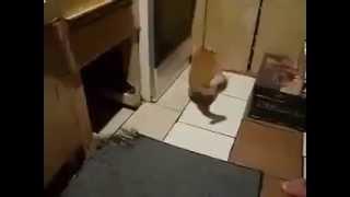 Нападение крысы на кота