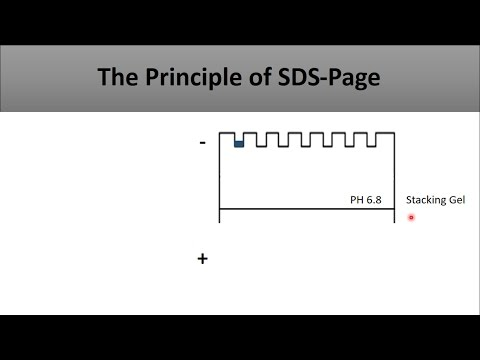 The Principle Of SDS PAGE-a Full And Clear Explanation Of The Technique And How Does It Work