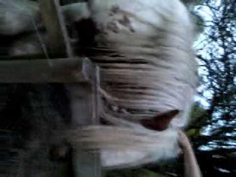 Horse has a boner