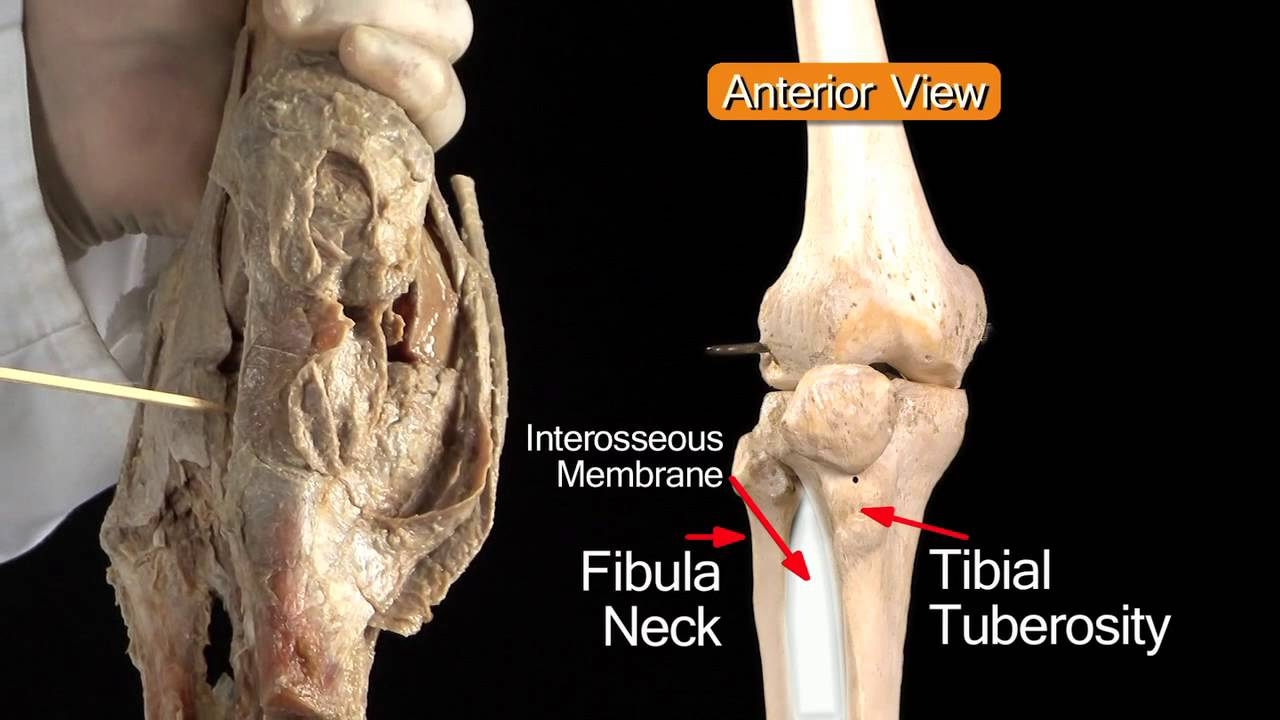 Knee Joint - Anatomy Tutorial - YouTube