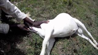 Slaughtering Of A Goat 1 Of 2 - Kenya