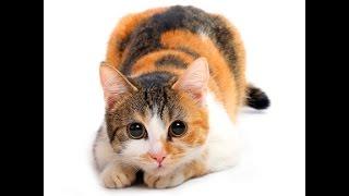 Игра трехцветной кошки