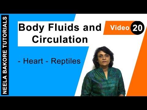 Body Fluids And Circulation - Heart - Reptiles