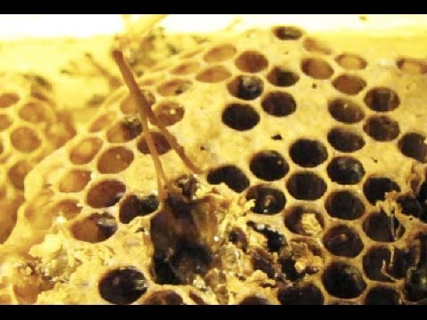 Learn to identify American foulbrood in 90 seconds