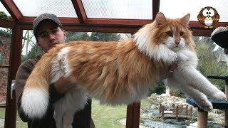 inilah 4 Ras Kucing Paling Besar di Dunia, No 3 Mirip Dengan Anak Macan Tutul.!!