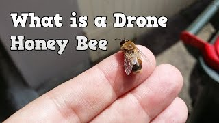 What is a Drone Honey Bee