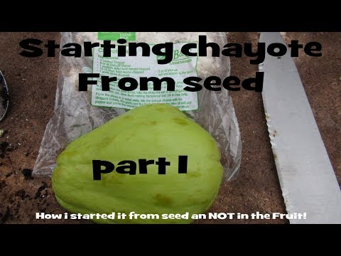 ⟹ CHAYOTE, Sechium edule PART 1 starting it from seed 5/25/2017 #CHAYOTE
