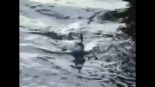 На рыбалке 26 июня 2012 г Ловля жереха на реке Неман.