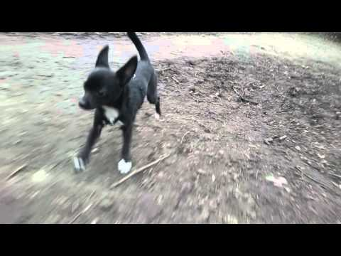 4K Slow Motion running chihuahua