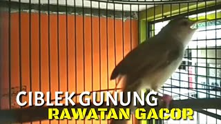 Download Lagu CIBLEK PARI GACOR NEMBAK mp3